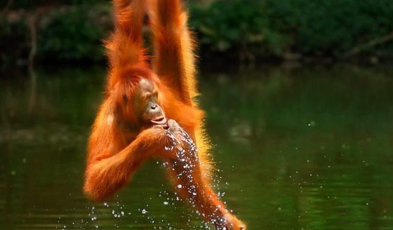 اورانگوتان تشنه اثر برگزیده رقابت عکاسی حیات وحش Agora در سال ۲۰۲۰ شد